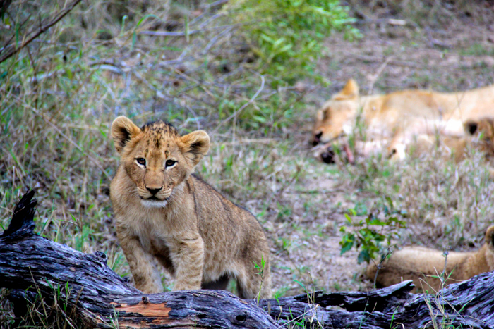 One of the Tsalala cubs, this pride has been going from strength to strength lately
