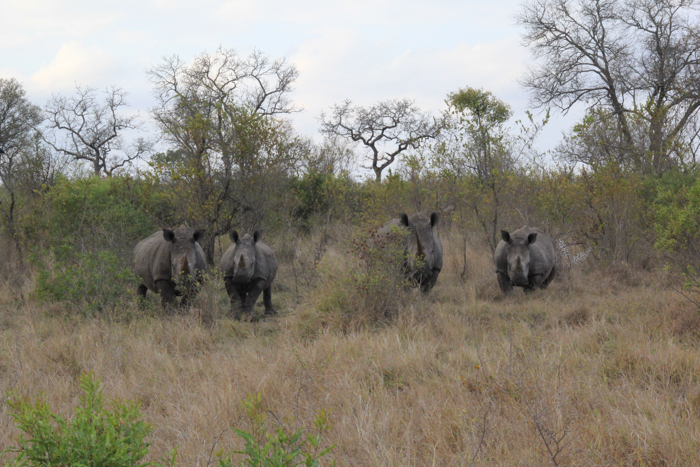 Rhinos are known for their very poor eyesight and will most likely hear something before seeing it. Here you can see these four rhino trying to work out where the noise is coming from.