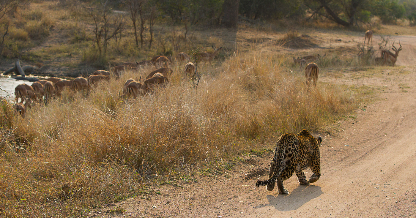 leopard hunting impala