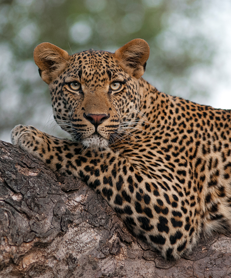 The Difference Between Leopard and Jaguar |Londolozi Blog