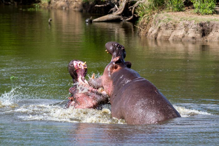 hippo fight (9 of 10)