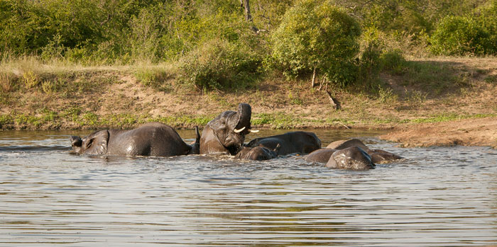 One of my favourite sightings of all time. An elephant herd swims in Vomba dam.
