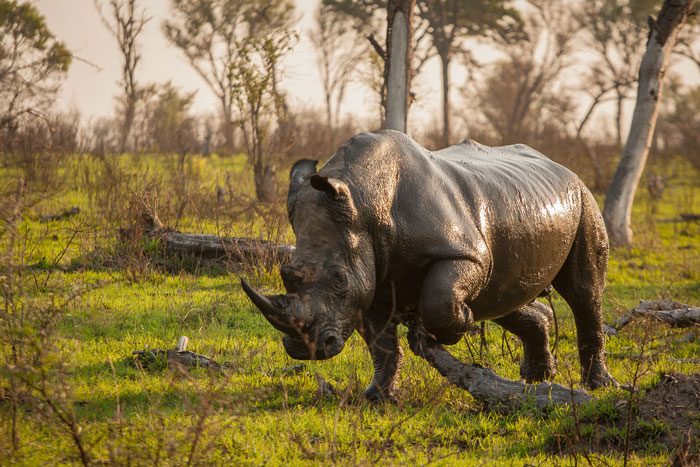 We will be seeing many more mud-covered White Rhinos like this one; he was freshly emerged from the aptly named Winnis' Wallow.
