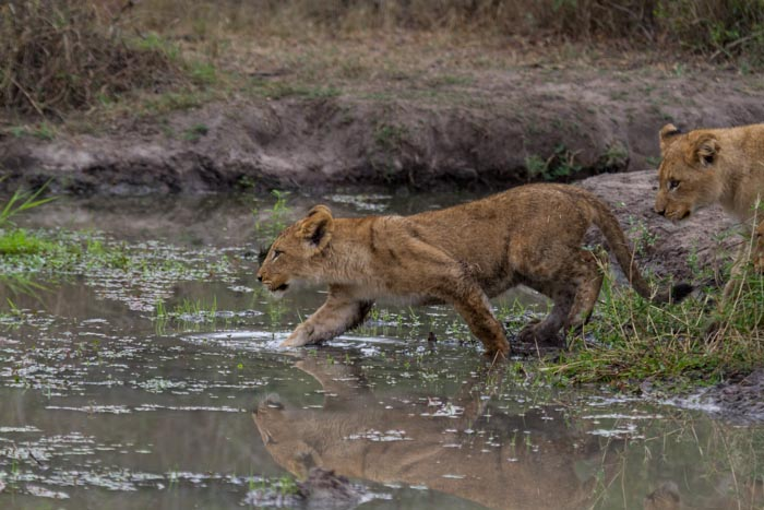 One of the cubs decides to follow mom into the pan for a meal. (ISO 800 f 5.0 1/1000sec 235mm)