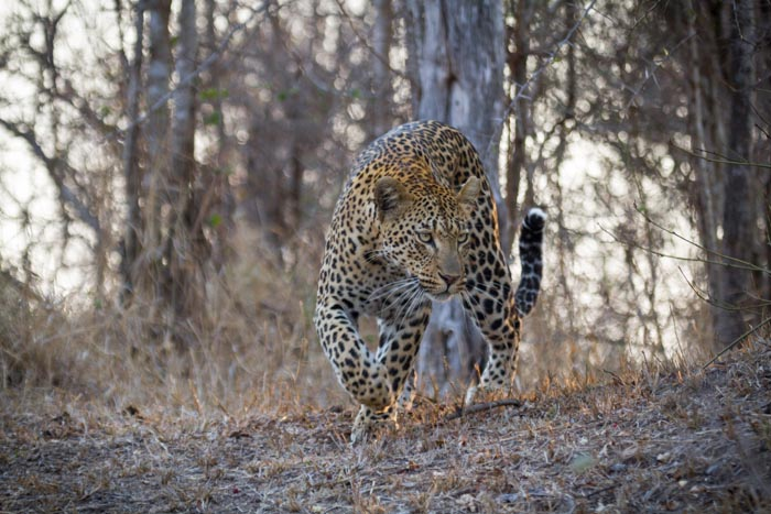 The Mashaba female. Siltent and stealthy. (ISO 400 f 5.6 1/250sec 180mm)
