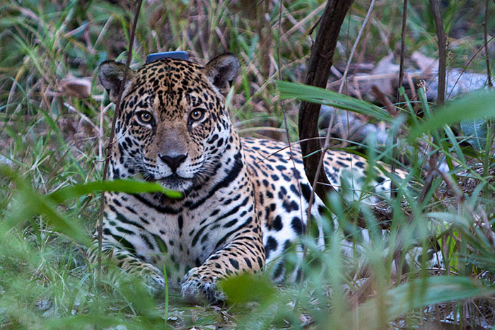 Female Jaguar at the Caiman Ecological Refuge