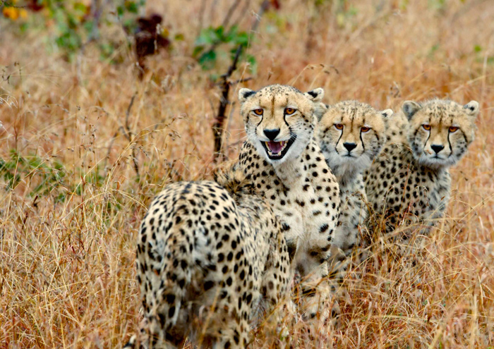 _0002_cheetah-trio-1-lighter-eyes