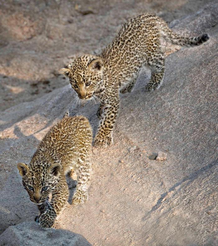 _0000_new-cubs