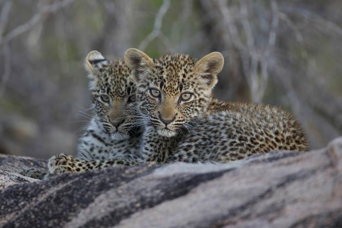 Nanga cubs