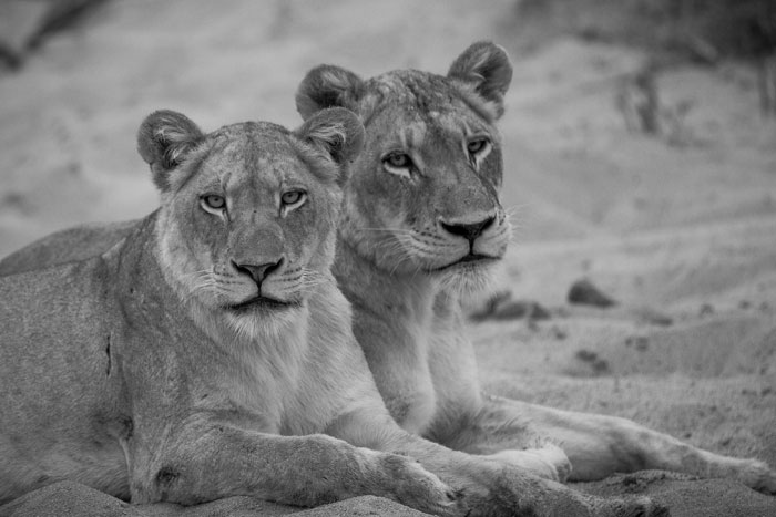 The Tsalala sub-adult and her mother relax after an unsuccessful Nyala hunt on the banks of the Sand River