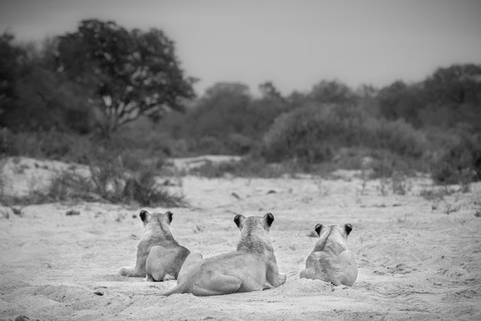 The Tsalala lionesses (minus cubs) stare off into the distance at some baboons that were alarming at them from an ebony tree further down the bank.