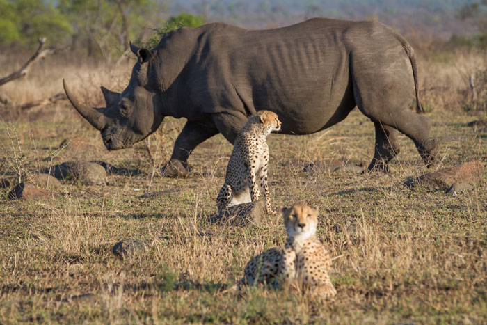 A white rhino bull chases one of the cheetah sub-adults out of the frame while its mother and sibling remain unconcerned. The rhino didn't want to show favouritism, so chased them as well a few moments later.