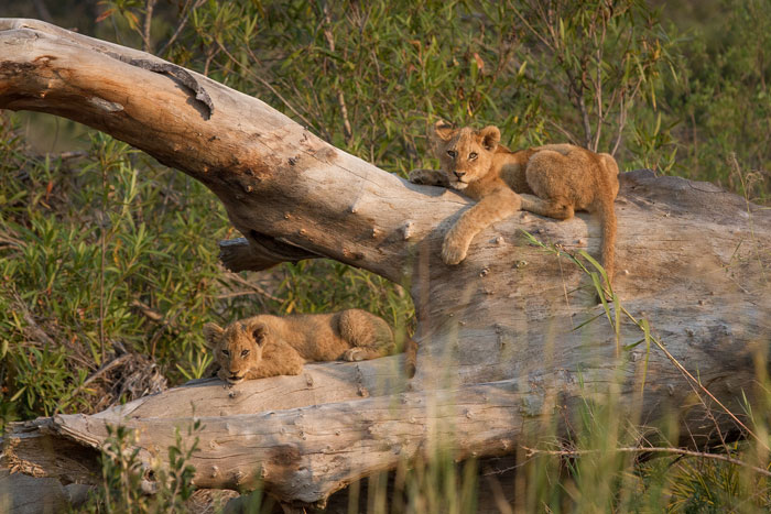 Two of the Mhangeni youngsters eye us from a dead log in the Sand River. We couldn't get any closer in the Land Rover without serious risk of getting stuck (and thus receiving the Pink Pouch) so had to content ourselves with a view of just these two.
