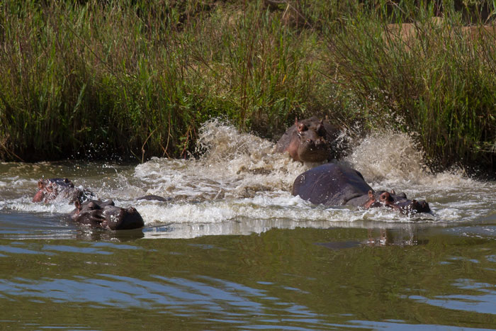 Hippos charge into the water of the Sand River as we came upon them suddenly near Old Elephant Crossing. Feeling exposed out of the water, they rushed back in to their refuge.