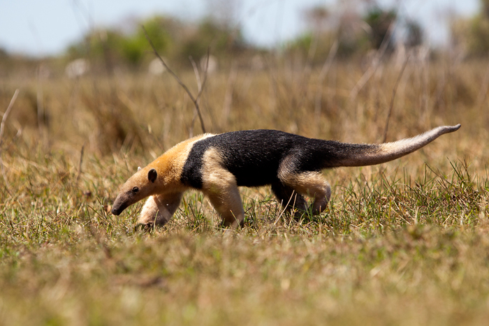 Southern-Anteater