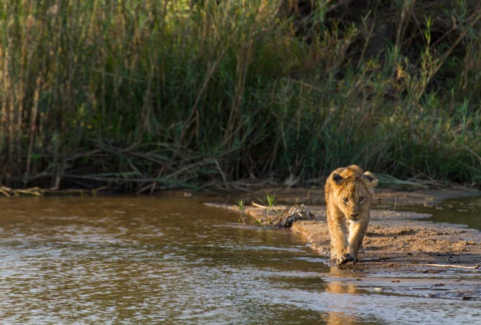 A cub approaches the water looking to cross a small section of water to get to a sibling. (f5.6 1/400sec ISO 200 320mm)