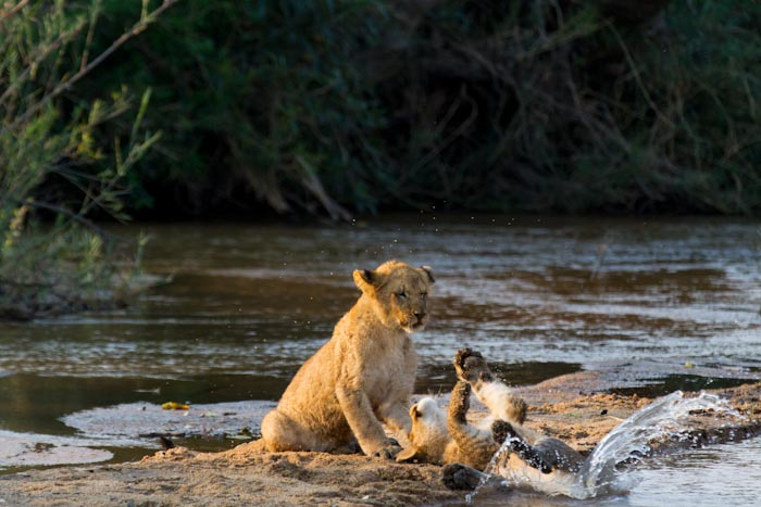 Water is often avoided by Lions, however these cubs find themselves quite at home in it. (f5.6 1/1250sec ISO 640 285mm)