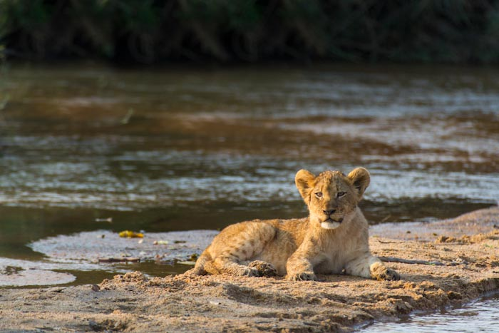 Another cub waiting patiently on the other side of a small waterway. (f5.6 1/800sec ISO 640 400mm)