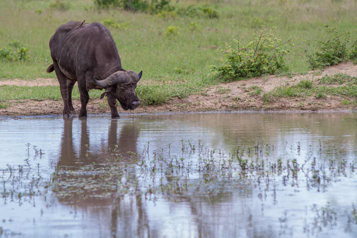 A lone buffalo bull snatches a quick drink from circuit Pan as the day warms up.