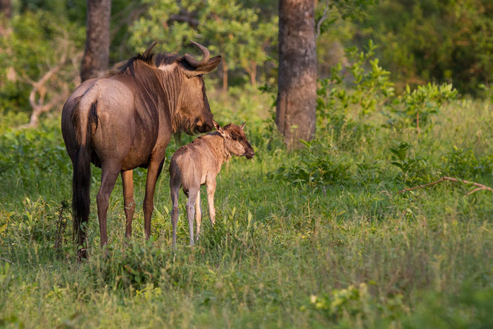 Following hot on the heels of the impala births are the wildebeest. this was the first calf seen this season, one of two in the resident herd on Tu-Tones crest.