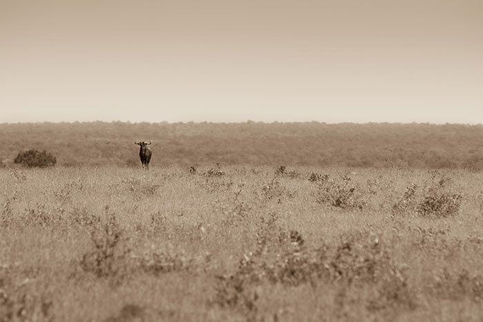 A territorial male wildebeest stands guard over his airstrip domain.