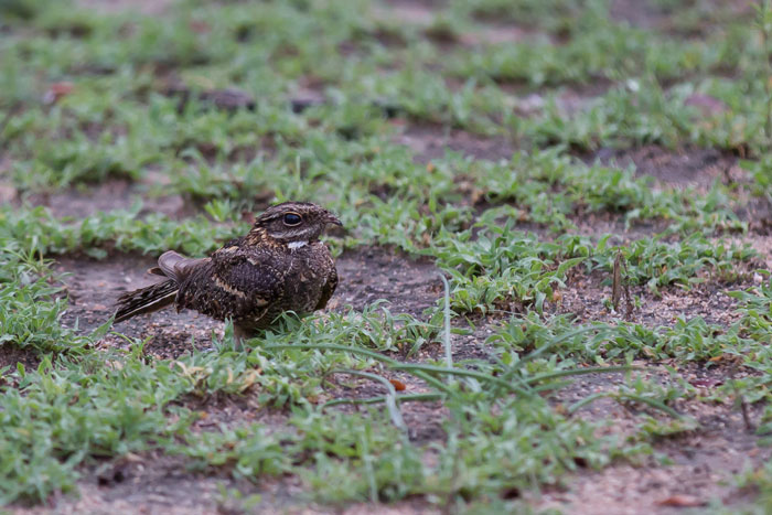 A rare daytime view of a nightjar in the open. I'm pretty sure it's a square-tailed nightjar, as the white in the outer retrices (tail feathers) seems to go all the way up, whereas in the fiery-necked nightjar the white would only extend part way up the tail.