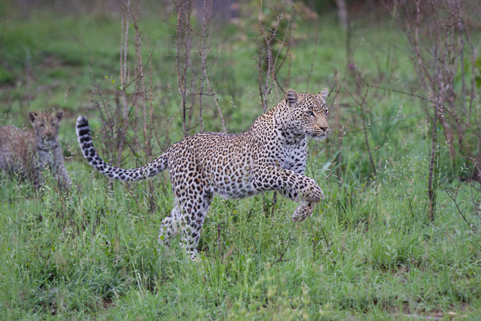 It seems all the mothers are in playful moods this week on Londolozi. the Nanga female leopard bounds ahead of her cub.