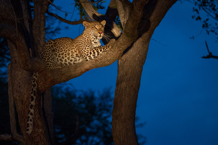 Here she lies in a leadwood tree at Tsalala Pan, taking a quick breather after having been up and down like a