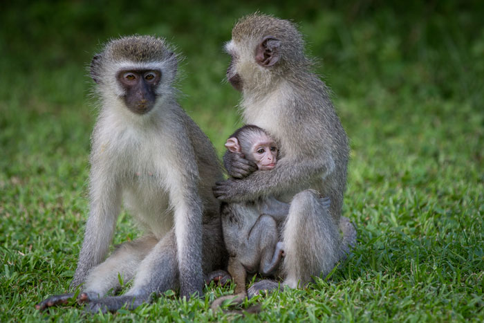 The vervet monkeys around camp provide amazing viewing themselves. Seasonal breeders, most young are born at this time of year, so the local Varty Camp troop has its fair share of tiny little ones at the moment.