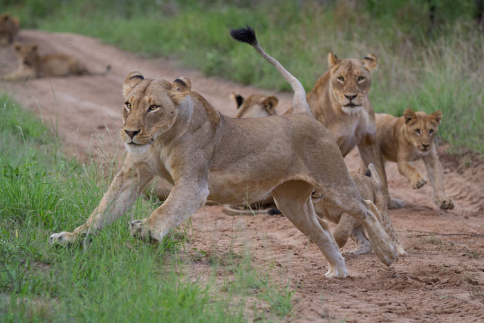 A pride in high spirits, the Mhangeni females and cubs  treated us to an amazing afternoon of playful antics.
