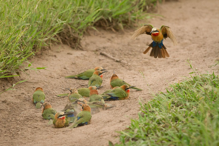 Touchdown. A whitefronted bee-eater comes in to land next to the rest of the flock that were dust-bathing near the Sand River.