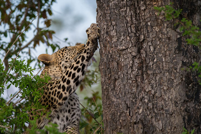The Vomba young male, surviving well since he was forced into independence by the death of his mother, has been spending a lot of time near Winnis' Clearing, to the east of camp. This exactly where his older sister, the Mashaba female, spent  a lot of time when she became independent.