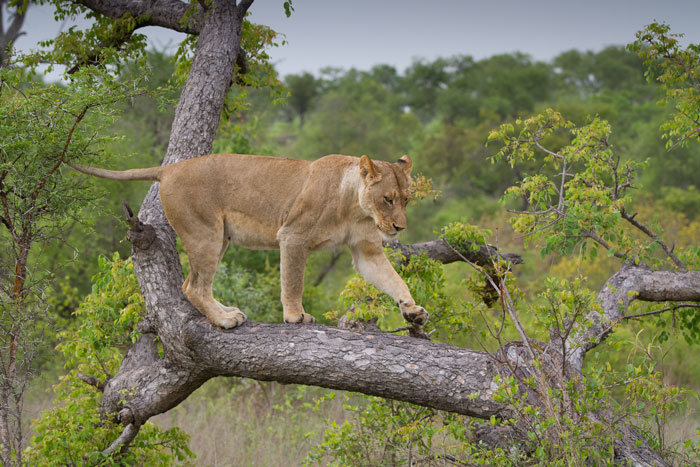 One of the Mhangeni lionesses balances along a fallen marula as the pride movves past nearby. The lionesses as well as the cubs were in a wonderfully playful mood on this morning, climbing everything in sight.