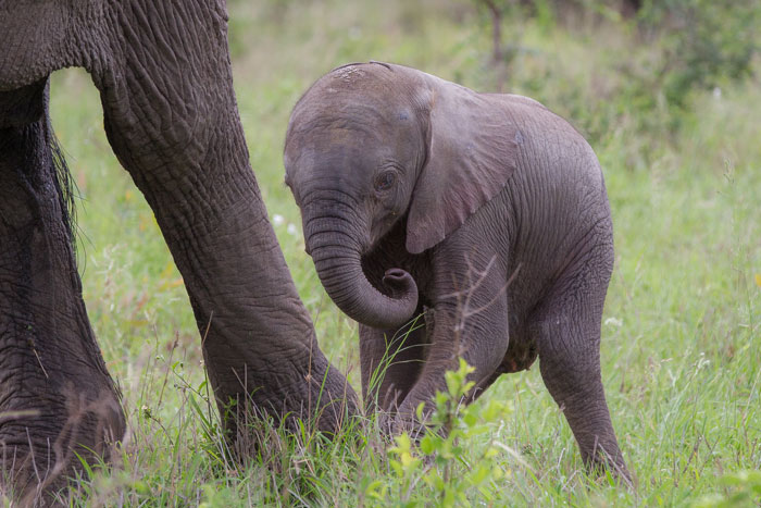 Pink ears tell of a very, very young elephant calf, probably no more than a few days old. Unbelievably, the mother led this little calf right past the vehicle without a care in the world, totally relaxed with our presence.