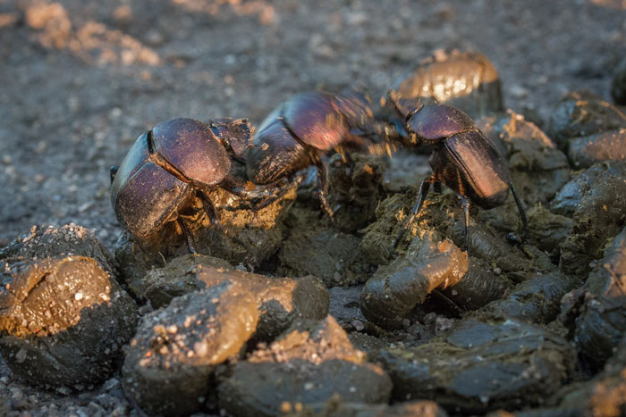 Dung beetles fight over fresh zebra dung. Wonderfully entertaining insects to watch, I have spent many game drives and bush walks with guests totally enraptured by their antics, whether fighting, rolling balls or just scuttling along. In fact,  the presence of dung beetles is probably one of my top 3 favourite things about summer.
