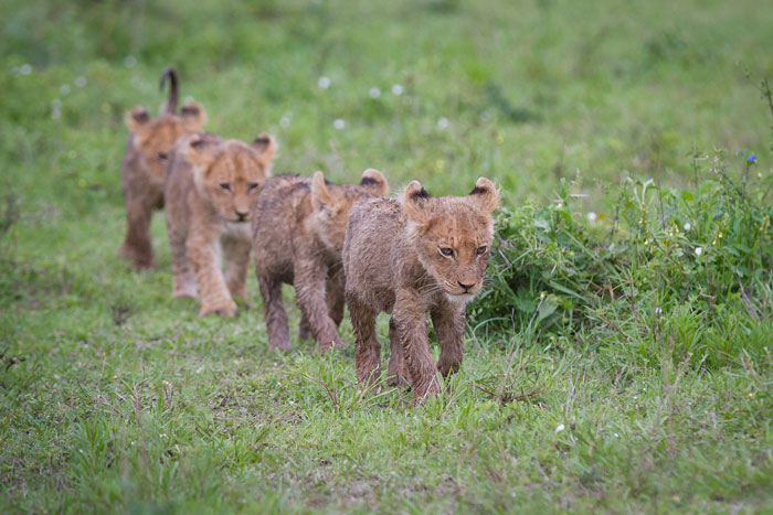 The cubs of the Tsalala pride walk in line astern on the way to the hippo carcass that they had been feeding on off Plaque Clearing.