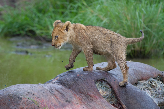 A bedraggled little cub, looking pretty skinny now that it is all wet, clambers over the dead hippo.