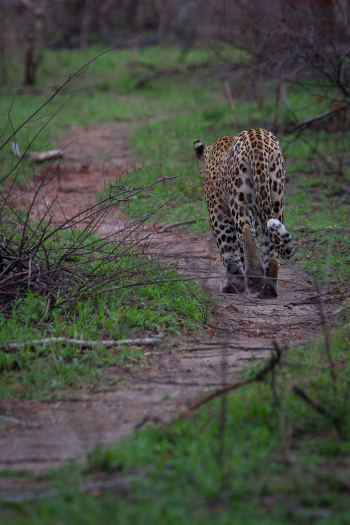 The Camp Pan male strolls along a game path through a recently burnt area one evening. We had actually been looking for the Tamboti female and her cub, and headed to Tortoise Pan to see if there were any tracks. Alighting from the vehicle, we had barely gone 5 steps when a low growl from underneath a small Jackalberry tree next to the water warned us of the presence of a leopard, and moments later the Camp Pan male stepped out into the open.