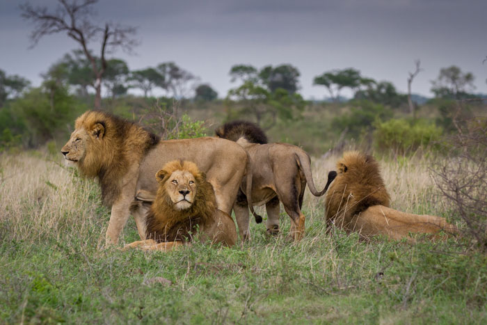 A rare shot of the Sabi Sand's most dominant lion coalition, the Majingilane, all together. They had been watching a herd of buffalo, but didn't fancy taking on the big males on this morning. By evening however, they had caught, killed and devoured a buffalo calf and were lying fast asleep with full bellies.