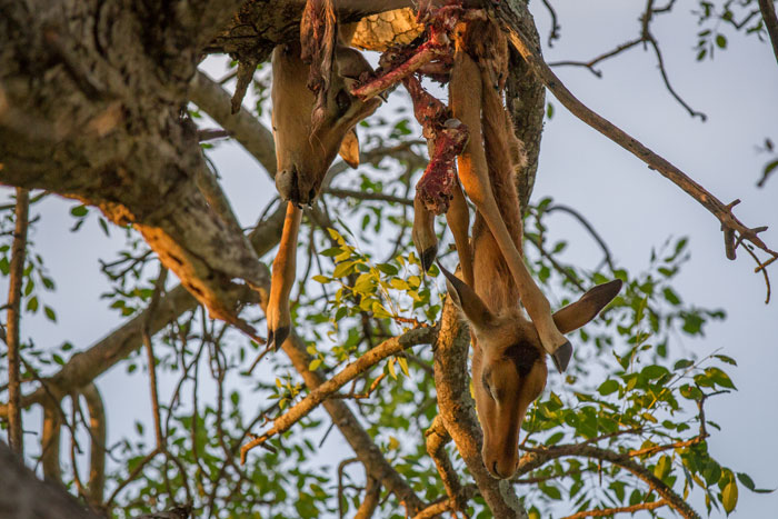 It's not often you will see two kills hoisted in the same tree. IN this instance the Torchwood male had made one of his own, and stolen a second from the mother cheetah and her two offspring.