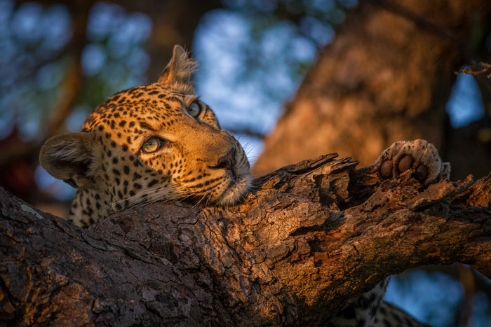 After sitting with him for half an hour or so, he decided to climb the tree, partly we think in an effort to escape the flies that were pestering him, and came and lay on a branch of the marula tree extending out towards us. Just then the sun broke through a cloudbank in the west, bathing him in golden light.