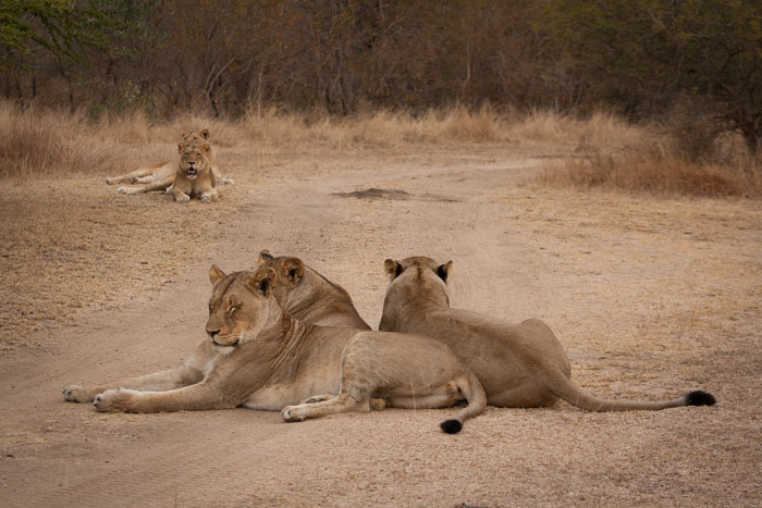 The Mhangeni females lie near their mothers at LTA Dam. We had hoped that this interaction between the two prides, many months ago when the Mhangeni females were still the Tsalala Breakaways, would be the first step towards the prides rejoining, but it seems that it is not to be...