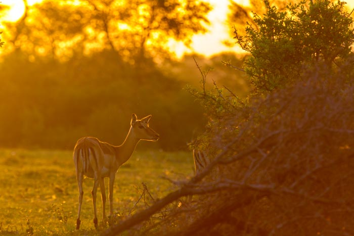 Beautiful afternoon lighting, backlit Impala ewe.