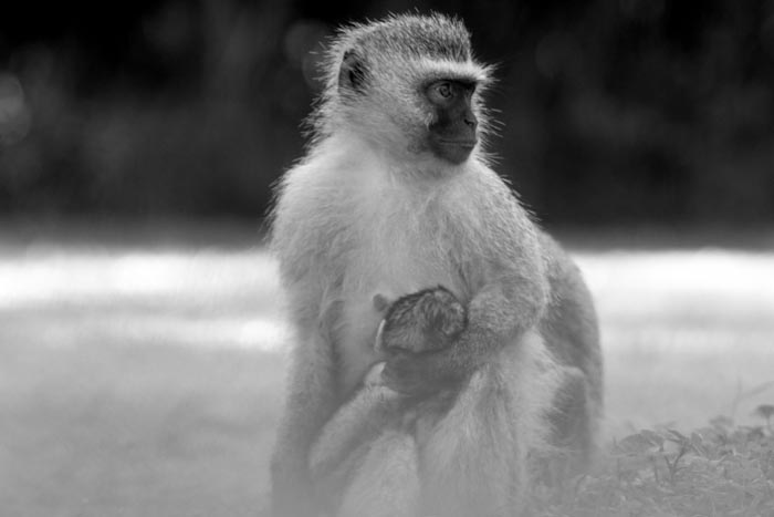 Many new borns around at the moment, this female Vervet Monkey, ever watchful for danger.