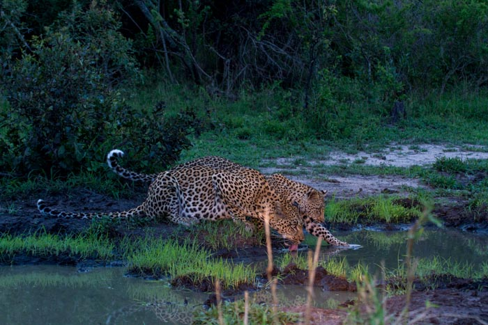 Tamboti and her cub drink from a waterhole in the late afternoon.