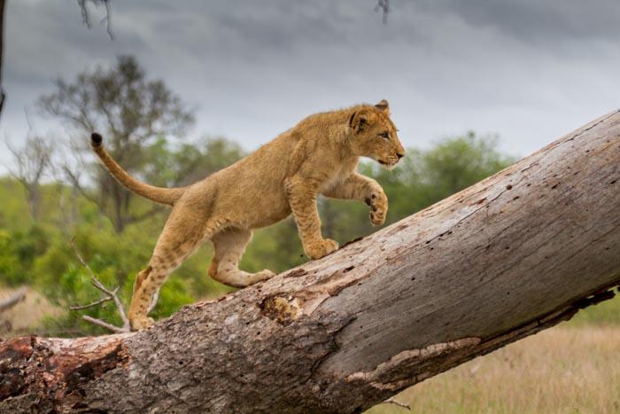 A Mhangeni cub ascends a fallen Marula tree.