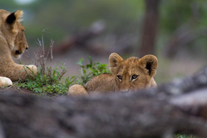 Watching his brothers play in the distance, this young cub takes time to awake after a cold morning.