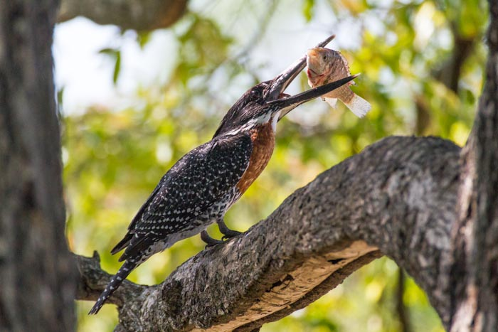 A Giant Kingfisher and its Tilapia kill.