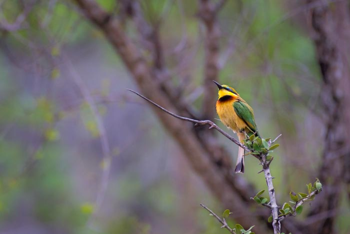 A Little Bee-Eater perches awaiting a meal.