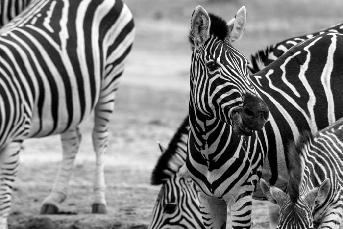 A beautiful sighting of Zebra drinking.